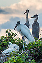 April 6, 2017 / Jupiter Florida Bird Photography Trip.  Various wildlife areas. / Photo by Bob Laramie