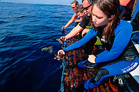 Sea turtle rehabilitation facilities help injured turtles safely return to the Ocean Releasing them offshore in the Sargassum helps their chances for survival, Florida, Atlantic Ocean