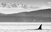 It's always nice to see orcas in the San Juan Islands, but photography can be quite challenging.