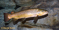"1215-0902  Brown trout or Sea trout, Salmo trutta fario ""Introduced species to the United States from Europe"" © David Kuhn/Dwight Kuhn Photography"