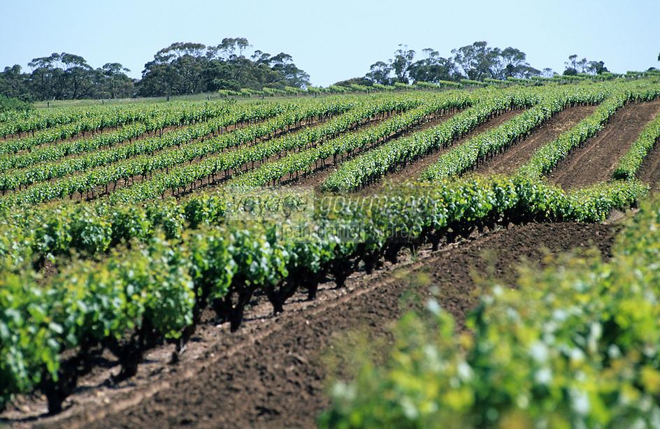 Océanie/Australie/South Australia/Australie Méridionale/Barossa Valley/Bethany: Le vignoble - Les plus vieux pieds de vigne d'Australie - Cépage Shiraz ou Syrah
