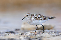 Adult male Baird's Sandpiper (Calidris Bairdii) in breeding plumage on the breeding grounds. Resolute, Nunavut, Canada. June.