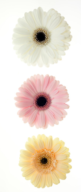 Three pastel colored Gerber Daisies in a row