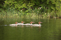 """Common Merganser""<br />