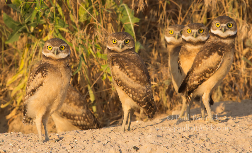 Six juvenile Burrowing Owls just outside their nest.