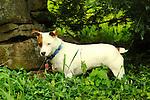 Emma hunting chipmunk. Jack Russell terrier.
