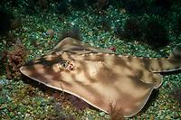 banded guitarfish, Zapteryx exasperata, San Benito Island, Baja, California, Mexico ( Pacific Ocean )