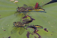 Clearlake Clubtail (Gomphus australis) Dragonfly - Pair of males on a lily pad, Gordonia-Alatamaha State Park, Reidsville, Tattnall County, Georgia
