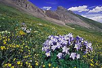 Mountains and wildflowers in alpine meadow,Blue Columbine,Colorado Columbine,Aquilegia coerulea, Alpine Avens, Ouray, San Juan Mountains, Rocky Mountains, Colorado, USA, July 2007