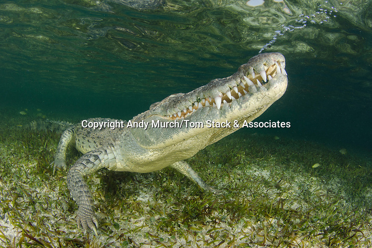 American Crocodile, crocodilus acutus, exhaling bubbles before surfacing for another breath. Banco Chinchorro Atoll, Quintana Roo, Southeastern Mexico. Caribbean Sea.
