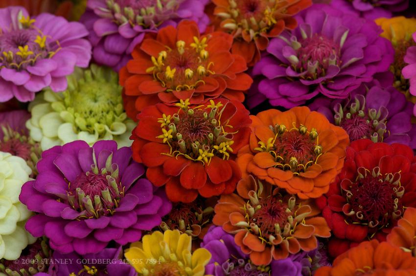 Baby Zinnias Multi-colored closeup