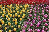 Yellow Tulips, Pink Tulips,  and Red Tulips / Tulip in bloom, Spring Flowers blooming in Flower Garden and Bed, Fraser Valley, BC, British Columbia, Canada