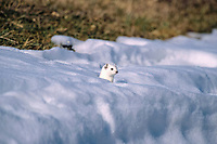 Ermine or Stoat or Short-tailed Weasel (Mustela erminea) in its winter coat in the snow