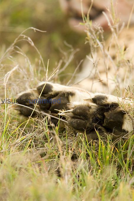 Cheetah paws (Acinonyx jubatus)