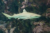 Schwarzspitzen-Riffhai, Schwarzspitzenriffhai, Riffhai, Hai, Haie, Carcharhinus melanopterus, Carcharinus melanopterus, Carcharias melanopterus, Blacktip reef shark, Blackfin reef shark, shark, sharks