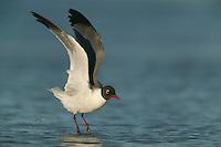 Laughing Gull (Larus atricilla) taking off into flight