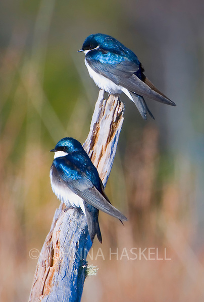 Two tree swallows on a branch showing off their vibrant blue coloration.
