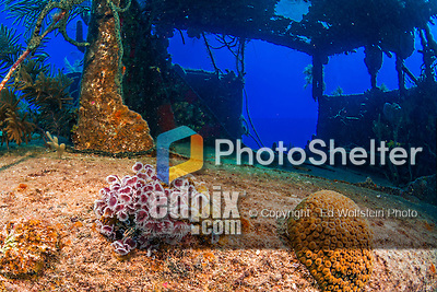 20 June 2016: A grouping of Social Feather Dusters (Bispira brunnea) grows on the Wreck of the Doc Poulson off the shores of 7-Mile Beach on the West side of Grand Cayman Island. Located in the British West Indies in the Caribbean, the Cayman Islands are renowned for excellent scuba diving, snorkeling, beaches and international banking.  Mandatory Credit: Ed Wolfstein Photo *** RAW (NEF) Image File Available ***