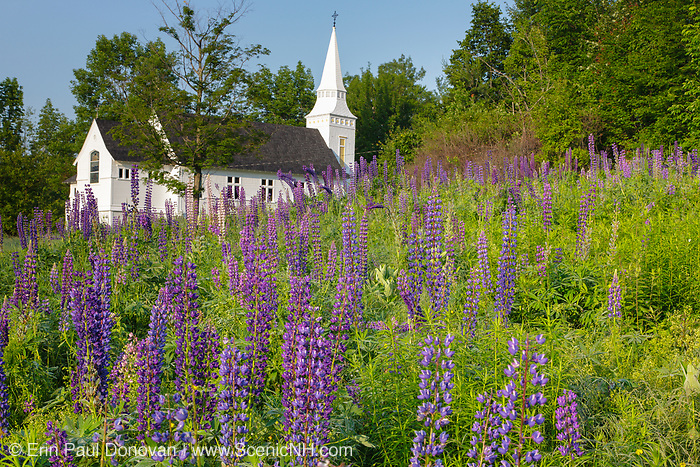 Lupine Festival in Sugar Hill, New Hampshire USA. St. Matthew's Chapel is in the background