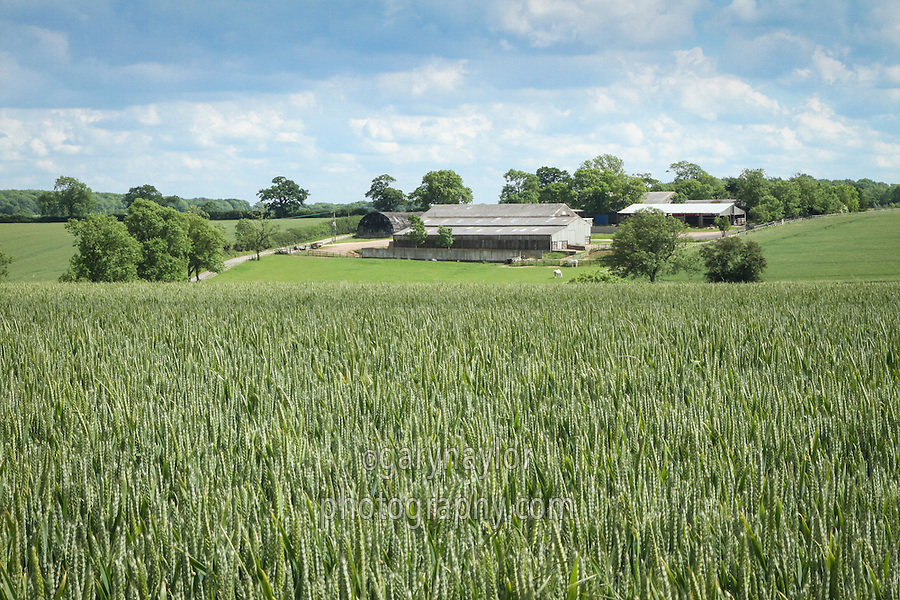 Farm yard with wheat in ear in the foreground - Rutland, June