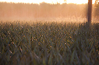Fronteira_MG, Brasil...Plantacao de abacaxi em Fronteira, Minas Gerais...The pineapple agriculture in Fronteira, Minas Gerais...Foto: LEO DRUMOND / NITRO