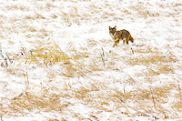 Fresh fallen snow and below zero temperatures do not keep this coyote from hunting for breakfast near Denver, Colorado.