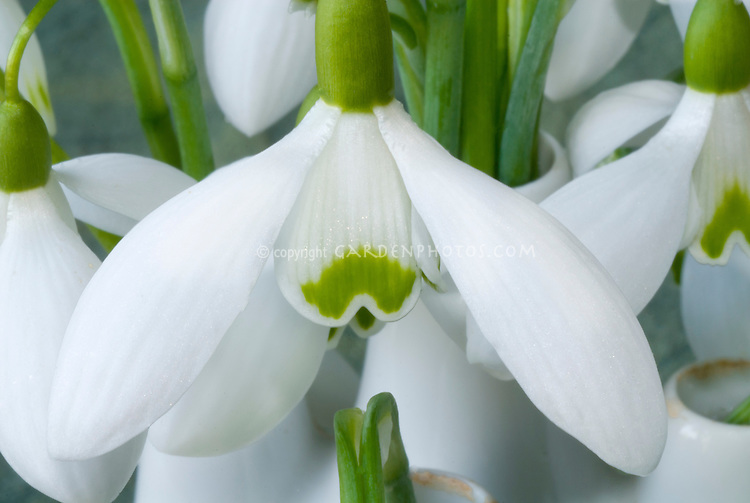 Galanthus Brenda Troyle snowdrops bulbs flowers in vase picked