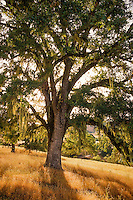 Quercus lobata, California Valley Oak tree in summer landscape
