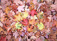 FALL FOLIAGE - FALLEN LEAVES