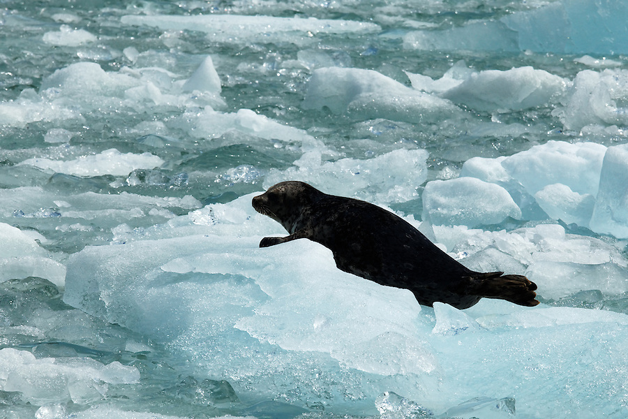 Harbor seal on icebergs floating in Tracy Arm, Southeast Alaska, USA