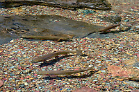 Cutthroat Trout (Oncorhynchus clarkii) in spawning stream.  Montana.  July.