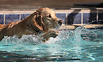 Sunny plays at the 10th annual Pooch Plunge at the Carson City Aquatics Center, in Carson City, Nev., on Saturday, Sept. 22, 2018. The event is a fundraiser for the Carson Animal Services Initiative which supports Nevada Humane Society services in Carson City.<br /> Photo by Cathleen Allison/Nevada Momentum
