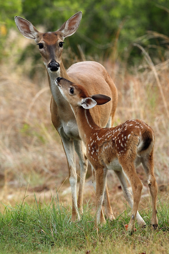 Whitetail mom, loving fawn.