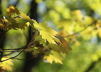 Stock image of pale green maple leaves and blurred background with the foliage.