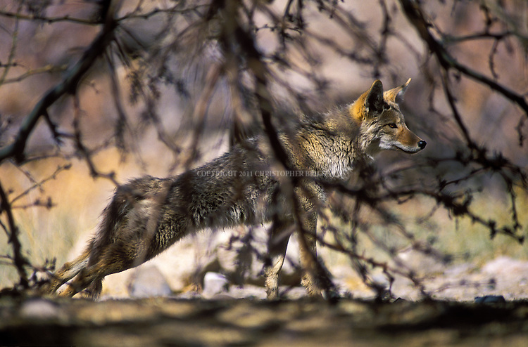 """Coyote  (Canis latrans), also American jackal, prairie wolf. Species of canine found throughout North and Central America. Grow to 30-34 in. (76-86cm) long, not counting tail of 12-16 in. (30-41cm), stand about 23-26 in. (58-66cm) at shoulder and, on average, weigh 15-46 lb. (7-21kg). Opportunistic, versatile carnivores. Name coyote borrowed from Mexican Spanish, ultimately derived from the Nahuatl word cóyotl. Its scientific name, Canis latrans, means """"barking dog"""" in Latin. Death Valley National Park, CA."""