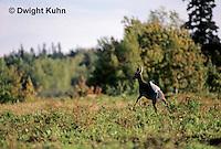 MA22-037z  White-tailed Deer - showing tail  - Odocoileus virginianus