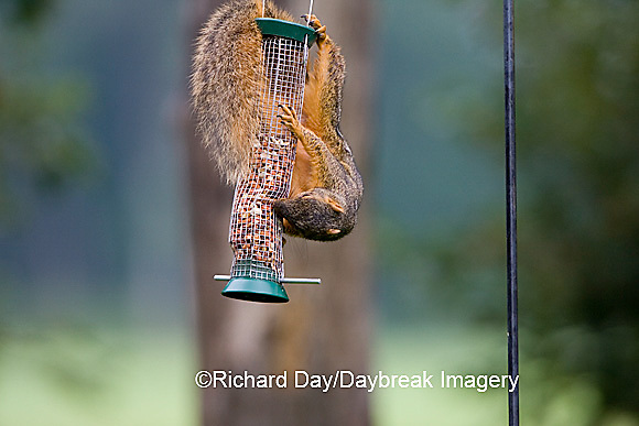 02013-008.02 Fox Squirrel (Sciurus niger) on peanut feeder, Marion Co.  IL