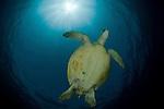 Green sea turtle (Chelonia mydas) Sipadan Island, Semporna, Sabah, Malaysia. 21 June 2009