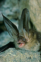 Braunes Langohr, Plecotus auritus, brown long-eared bat, common long-eared bat