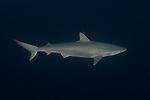 Carcharhinus falciformis, Silky shark, Blue Hole, Nassau, Bahamas