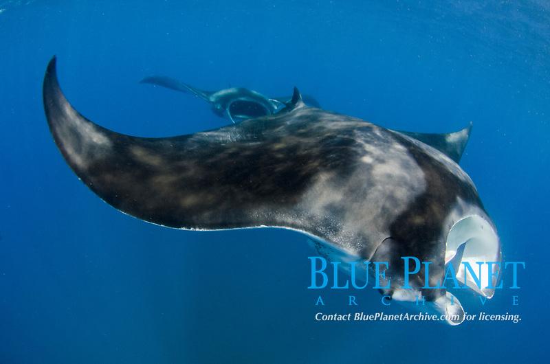 Giant Oceanic Manta Ray, Mobula birostris, formerly Manta birostris,  Caribbean Sea, Atlantic Ocean