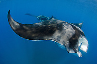 Giant Oceanic Manta Ray, Mobula birostris, formerly Manta birostris,  Caribbean Sea, Atlantic Ocean