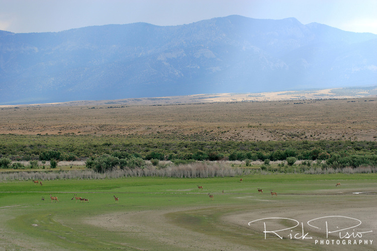 A herd of deer graze on the dry lakebed of Pruess Lake near Garrison, Utah, with the Snake Range in the distance.