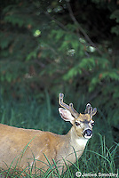 White tailed deer in the grass