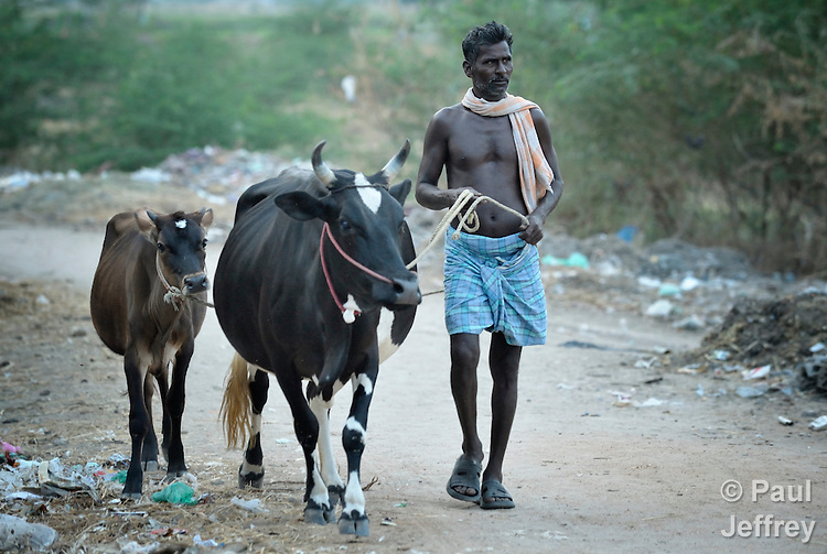 A man leads two cows along a street in Sathangudi, a village in the southern Indian state of Tamil Nadu.