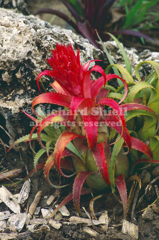 11711-AA Bromeliad, Aechmea recurvata, plant turns red when in bloom, in March, at Camarillo, CA USA
