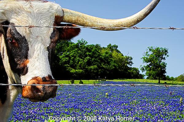 Springtime in Texas.  A Longhorn in a field of bluebonnets.