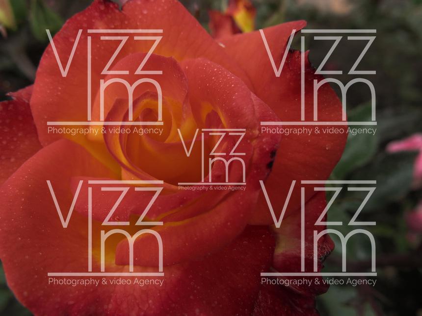 BOGOTÁ-COLOMBIA-15-01-2013. Rosa naranja con amarillo, Rosa France libre. Rose orange with yellow, rose France Free.  (Photo:VizzorImage)