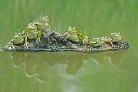 Edible Frog (Rana esculenta), adults on log, Switzerland
