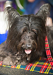Old Westbury, New York, U.S. - August 23, 2014 - STORMY the Skye Terrier, with tall upright ears, is at the 54th Annual Long Island Scottish Festival and Highland Games, co-hosted by L. I. Scottish Clan MacDuff, at Old Westbury Gardens on Long Island's Gold Coast.